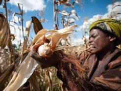 woman-picking-corn